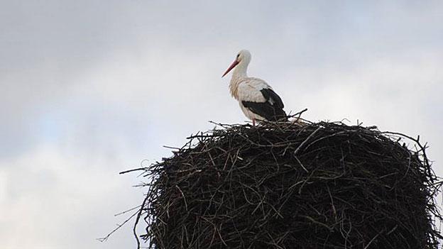 Storch auf Dach