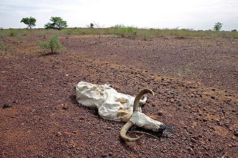 Totes Rind liegt auf ausgetrocknetem Boden