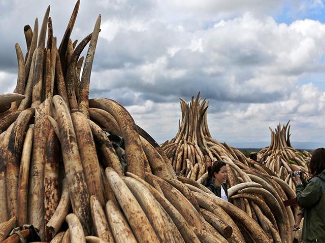 Türme aus Elfenbein, die in Kenia verbrannt werden sollen.