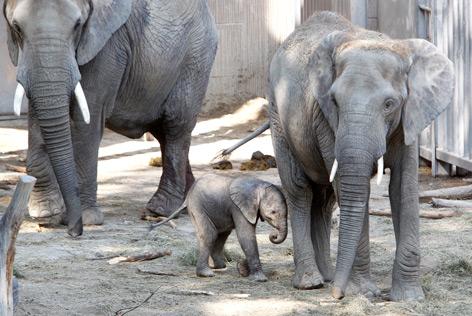 Elefantenfamilie in Schönbrunn