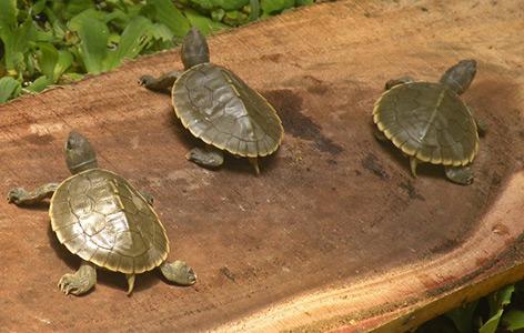 Geschlüpfte Batagur-Schildkröten