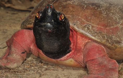 Eine männliche Batagur-Schildkröte in rötlicher Balzfärbung