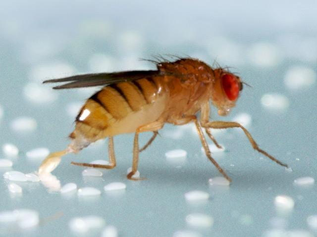 Eine weibliche Fliege der Art Drosophila melanogaster in Großaufnahme