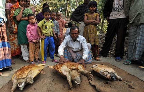 Pfauenaugen-Sumpfschildkröte auf dem Fleischmarkt in Bangladesch