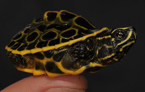 Eine frisch geschlüpfte Pfauenaugen-Sumpfschildkröte