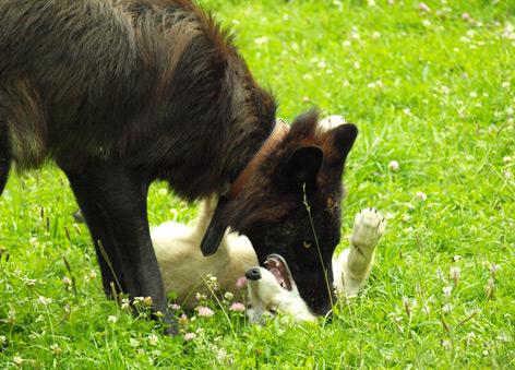 Ein alter und ein junger Wolf spielen