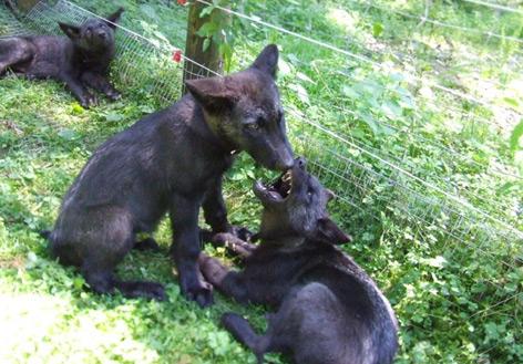 Zwei junge Wölfe