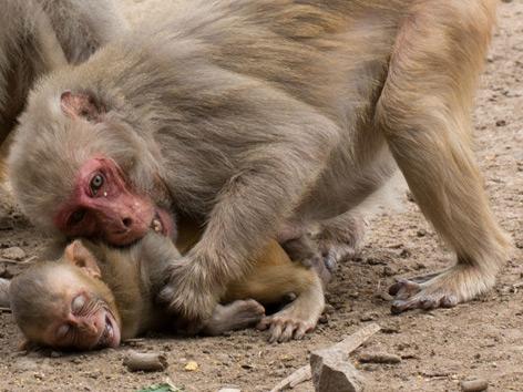 Rhesusaffenmutter beißt Sohn