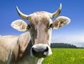 Eine Kuh mit Hörnern