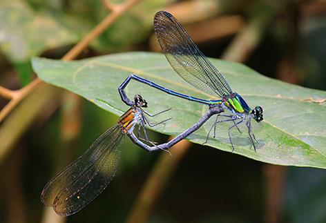 Weibchen und Männchen der Art Umma gumma bei der Kopulation