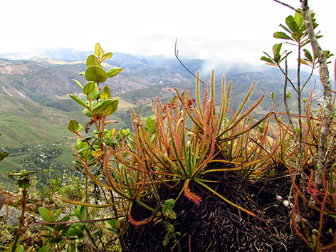 Die fleischfressende Sonnentau-Pflanze Drosera magnifica