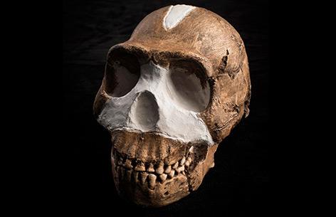 Schädel von Homo naledi