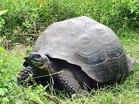 Riesenschildkröte Chelonoidis donfaustoi