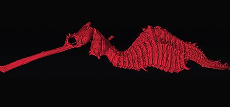 Mikrotomografie-Aufnahme von Phyllopteryx dewysea