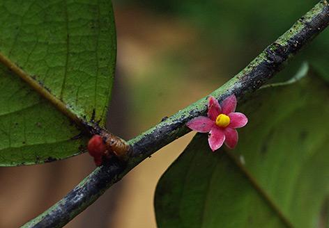Rosa Blüte von Thomas Couvreur