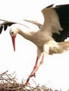 Storch landet auf einem Nest