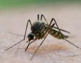 Malaria-Mücke sitzt auf Haut