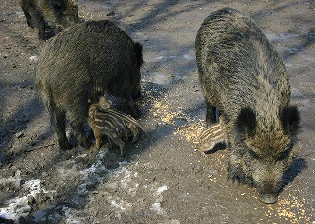 Wildschweine mit Jungen