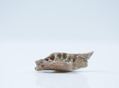 Kieferknochen von Homo floresiensis