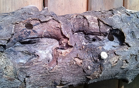 Holz mit den typischen Bohrlöchern des Asiatischen Laubholzbockkäfers