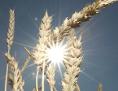 Weizenähren in der Sonne