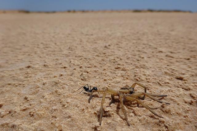 Ameise schleppt eine Spinne durch die Wüste
