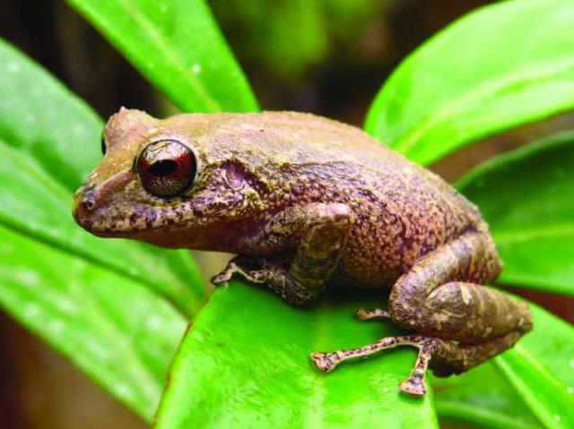 Die neue Froschart, die nach Prometheus benannt wurde, sitzt auf einem Blatt