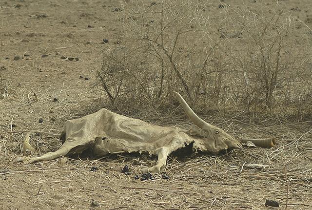 Dürre: ein verwesendes Rind auf dem Steppenboden