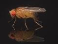 Fruchtfliege Drosophila in Großaufnahme