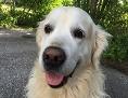 ein weißer Golden Retriever mit heraushängender Zunge