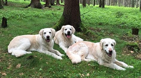 drei Golden Retriever liegen auf einer Waldlichtung