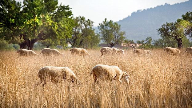 Schafsherde auf Mallorca