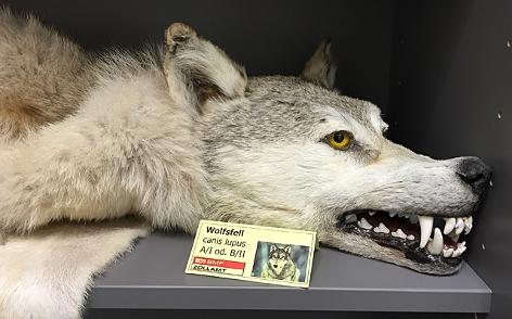 ein ausgestopfter Wolfs liegt in einem Regal