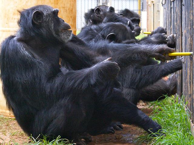 Drei Affen ziehen am Kooperationsapparat, zwei sehen zu