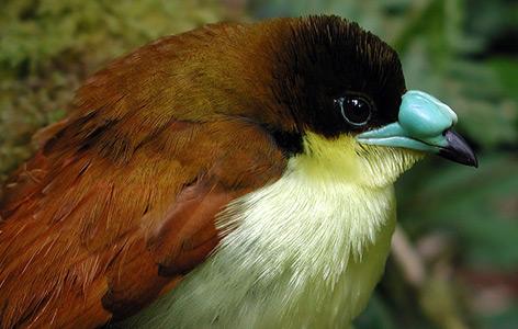 Loboparadisea sericea gehört zu den Singvögeln, die sich schon früh aus Australien auf den Weg gemacht haben - vor 23 Mio. Jahren