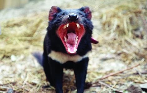 Ein Tasmanischer Teufel reißt sein Maul auf