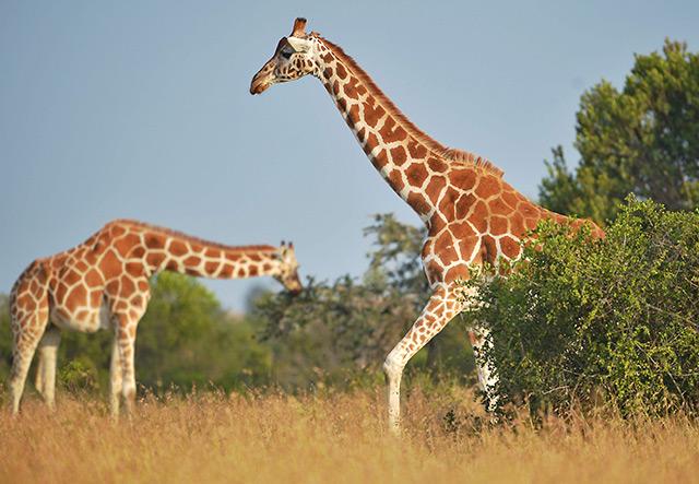 Zwei Giraffen in der Savanne