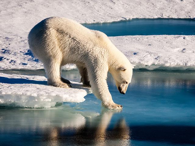 Ein Eisbär tappst mit seiner Pfoto in Wasser, sitzt auf einem Eisstück