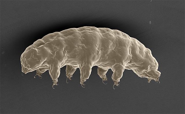 Bärtierchen unter dem Elektronenmikroskop