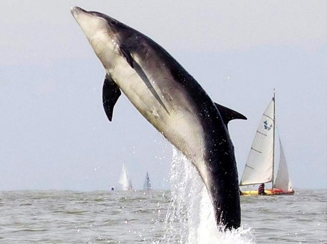 Ein Delfin springt aus dem Wasser, im Hintergrund ein Segelschiff