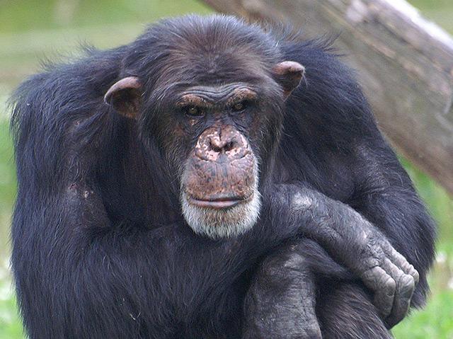 Schimpanse mit nachdenklichem Blick