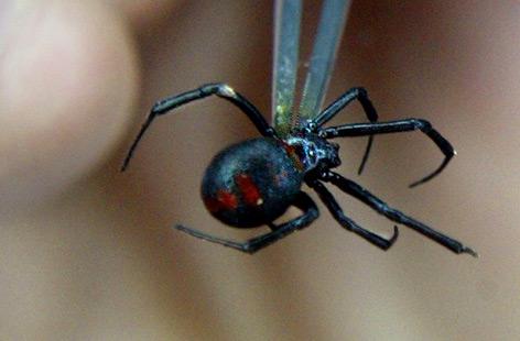 Schwarze Witwe (Spinne)