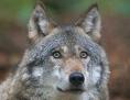 Wolf in Nahaufnahme