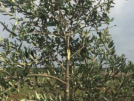 Detail: Blätter eines Olivenbaums