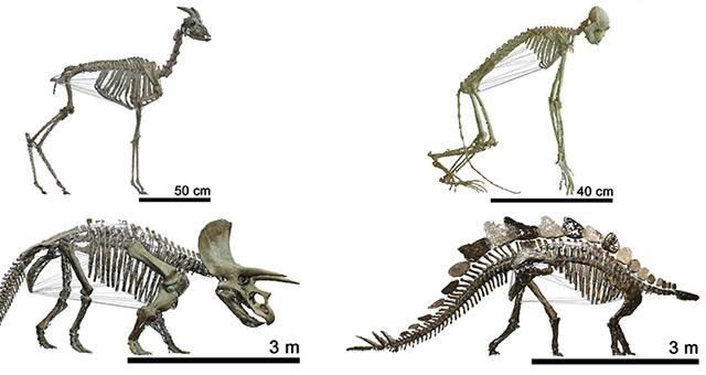 Vier der untersuchten Tierskelette: Gazelle, Nasenaffe, Triceratops, Stegosaur