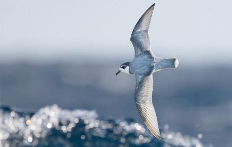Ein Blausturmvogel fliegt im Wind über der Meeresgischt
