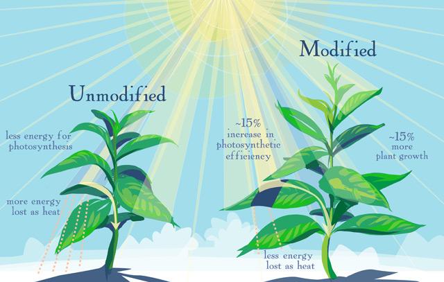 Grafische Darstellung: Optimierte Photosynthese