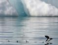 Alkenvogel landet am Wasser in der Arktis