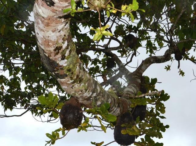 """Ameisen, die in der Baumrinde von Kaffeegewächsen """"Landwirtschaft"""" betreiben"""