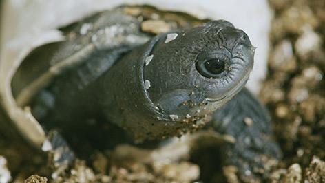 Frisch geschlüpfte Batagur-Schildkröte